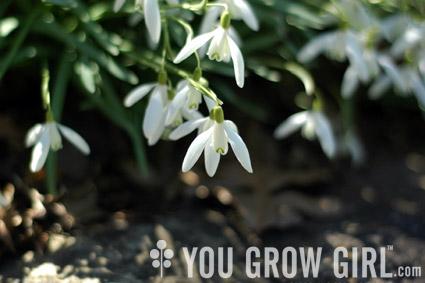 Spring_galanthus